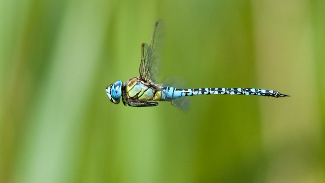 Southern Migrant Hawker male, Nikon D300S, AF-S Nikkor 300mm f/4D IF-ED