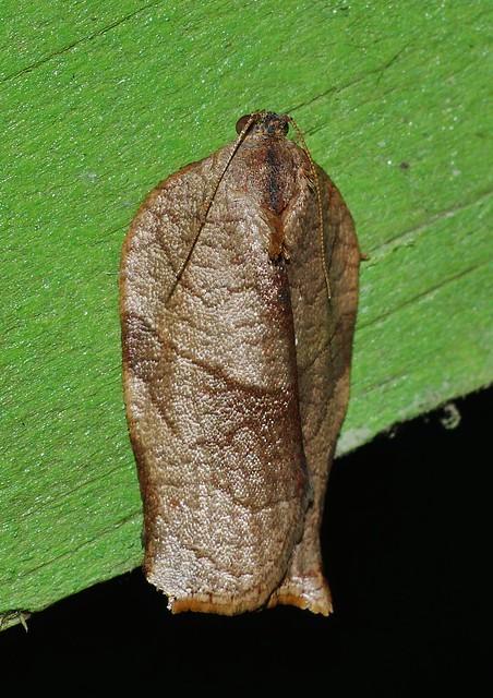 Long hastate Bell moth, Panasonic DMC-G7, Lumix G X Vario PZ 45-175mm F4.0-5.6 Asph. Power OIS
