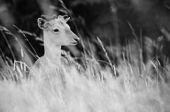 Fallow Deer in Grass