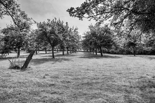 Apple orchard (buckaroos70)