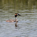 RSPB Ham Wall-Great Crested Grebe