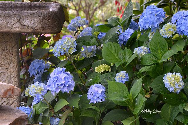 hydrangea-nikko-blue