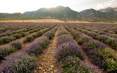 Lavender July 2018