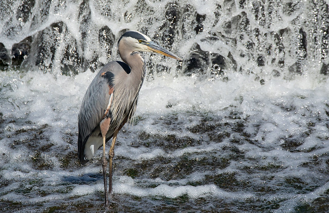 Great Blue Heron in the falls