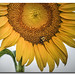 Bee and droplet on sunflower