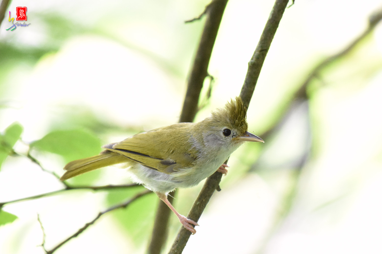 White-bellied_Yuhina_9836