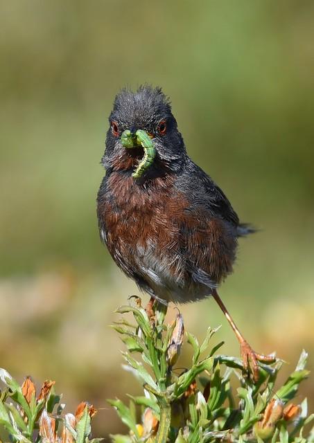 Toutinegra-do-mato / Dartford Warbler