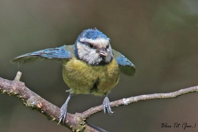BLUE  TIT  (Juv)  //  PARUS  CAERULEUS