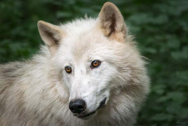 Arctic Wolf