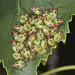 Parent Shieldbug Mid Instar Nymphs