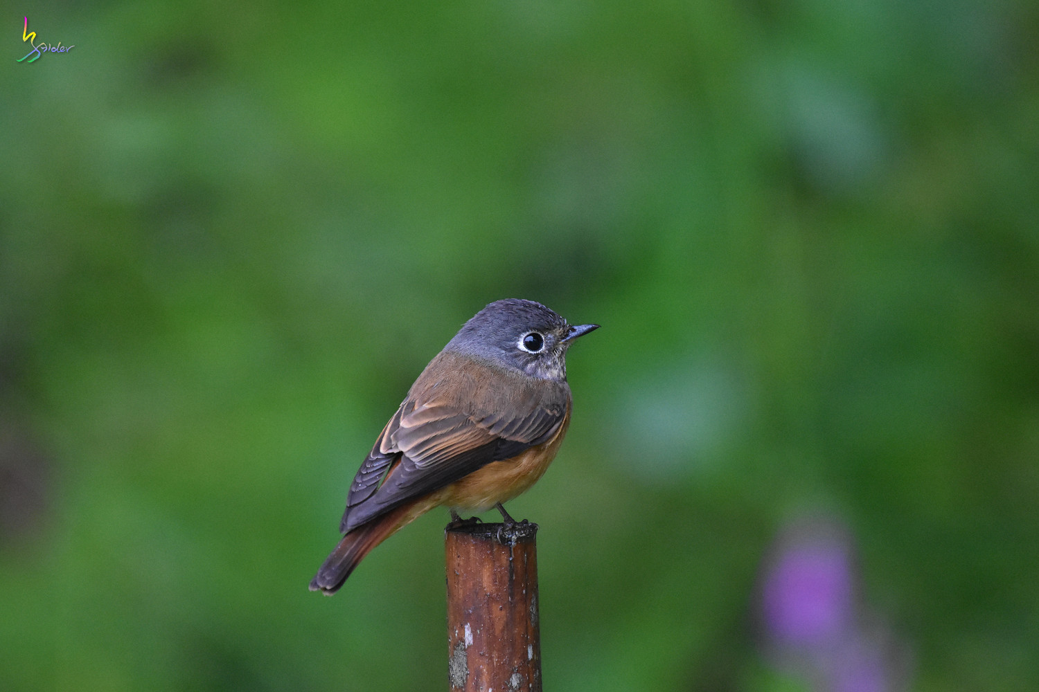 Ferruginous_Flycatcher_6971