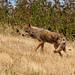 Coyote #110 by lennycarl08