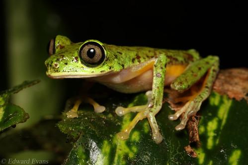 Critically endangered lemur leaf frog (Agalychnis lemur) - female
