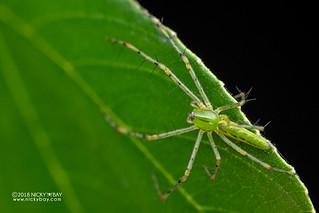 Green lynx spider (Peucetia pulchra) - DSC_4942