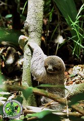 Young Three toed sloth