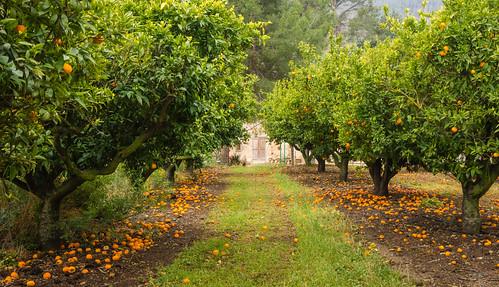 Orangenhain bei Miravet