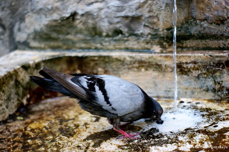 Голубь пьет воду на заднем дворе церкви Св.Николая
