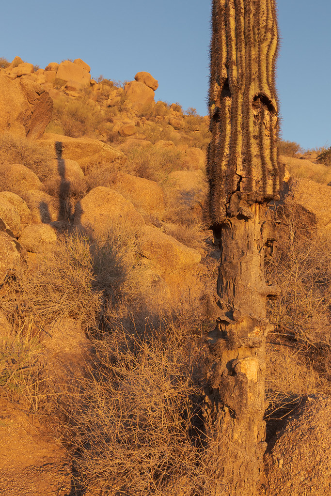 A damage saguaro still grows tall at Pinnacle Peak Park in Scottsdale, Arizona