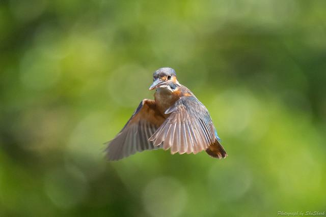 20180630-kingfisher-DSC_5417