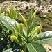 Le cultivar Jingning Bai Ye