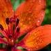 Wood Lily