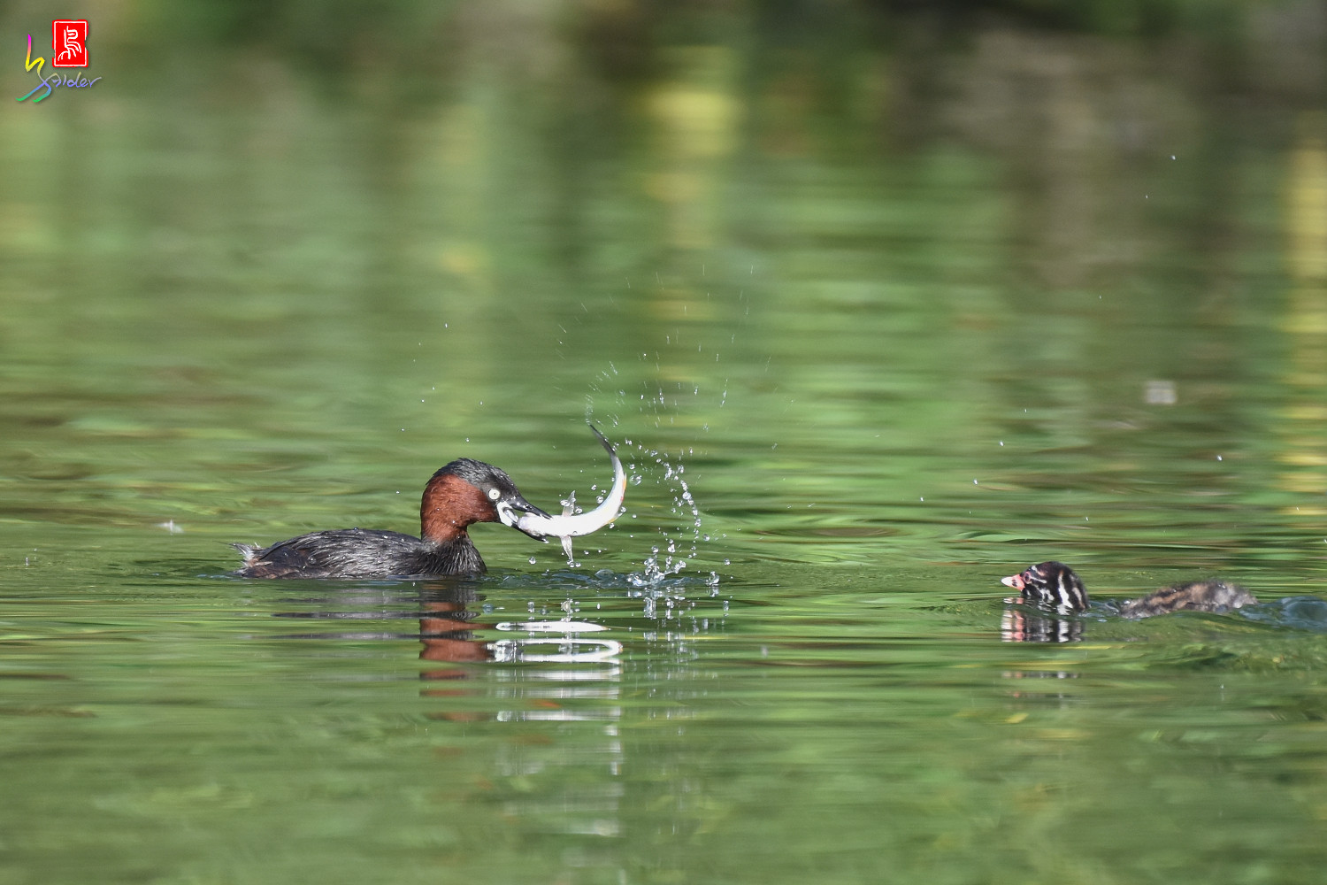 Little_Grebe_4054
