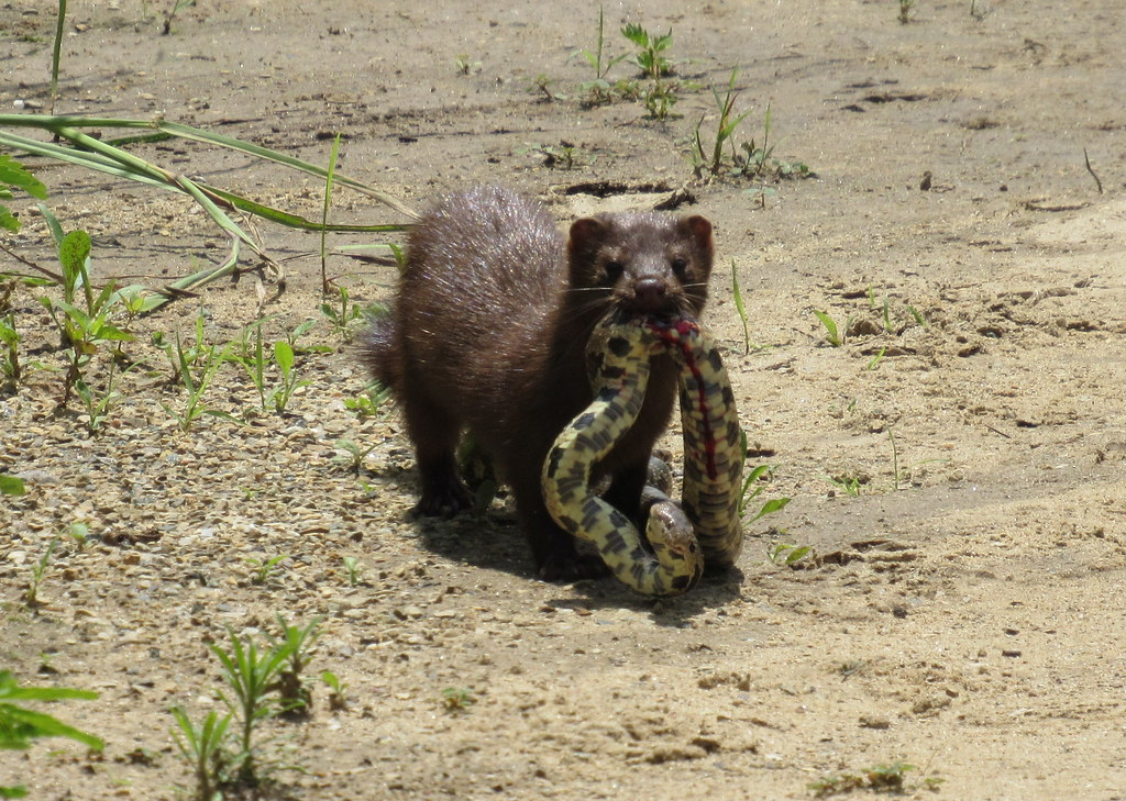 Mink with Western Fox Snake 2