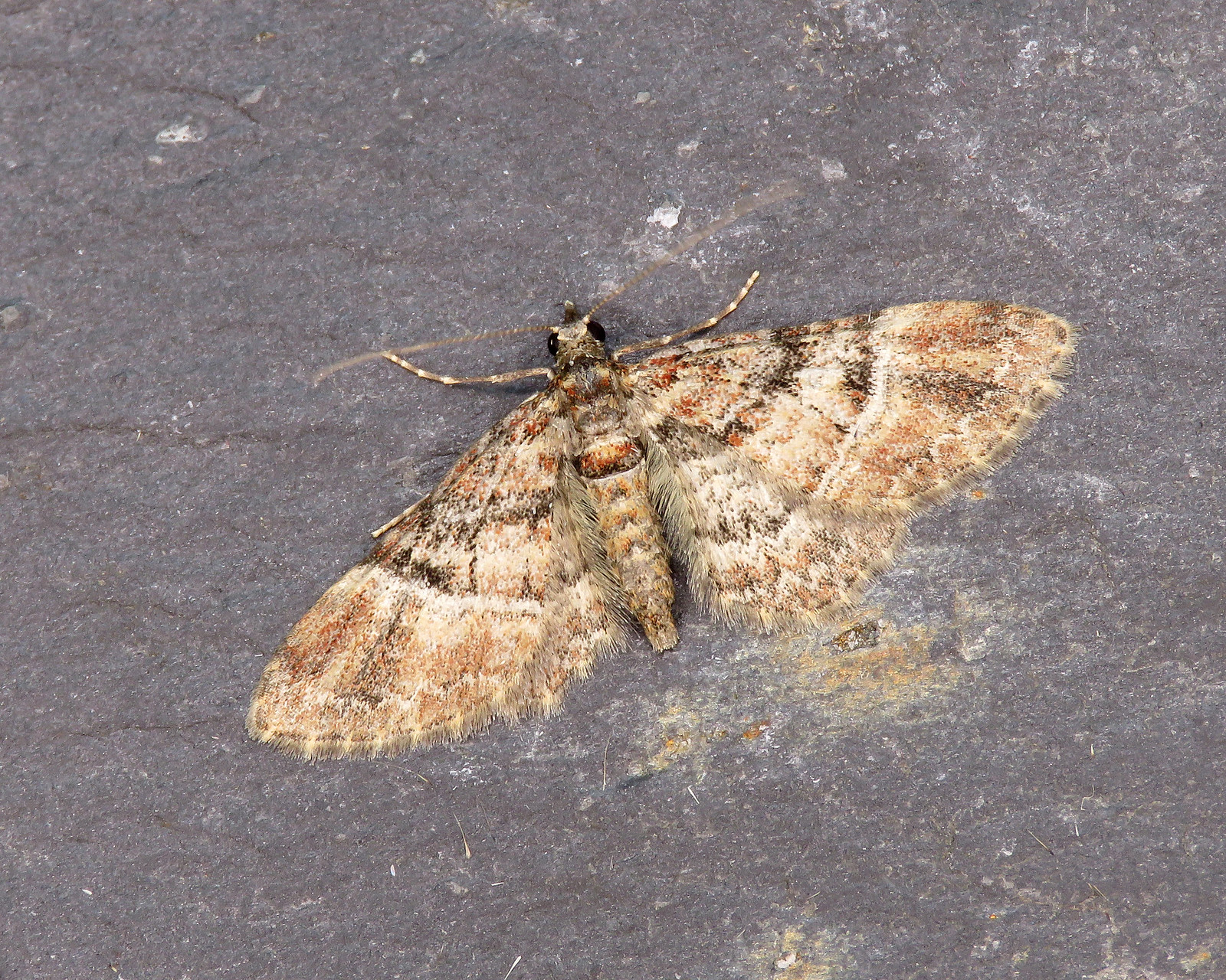 70.141 Double-striped Pug - Gymnoscelis rufifasciata