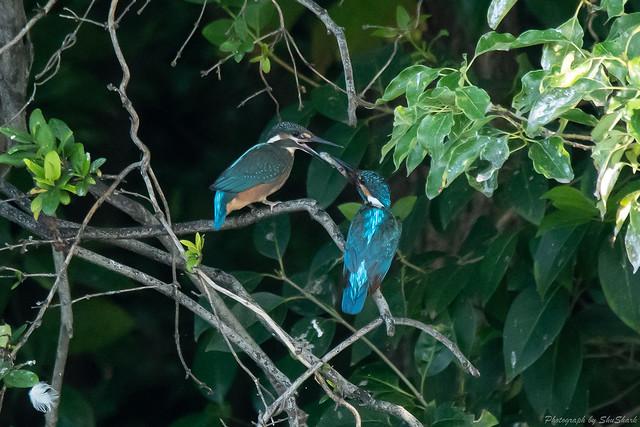 20180714-kingfisher-DSC_6055