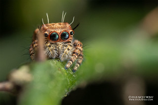 Jumping spider (Salticidae) - DSC_6304