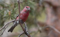 Male Pine Grosbeak