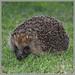 2018 06 21 Hessay Hedgehog 0831*