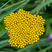 Cluster of small yellow flowers by Pejasar