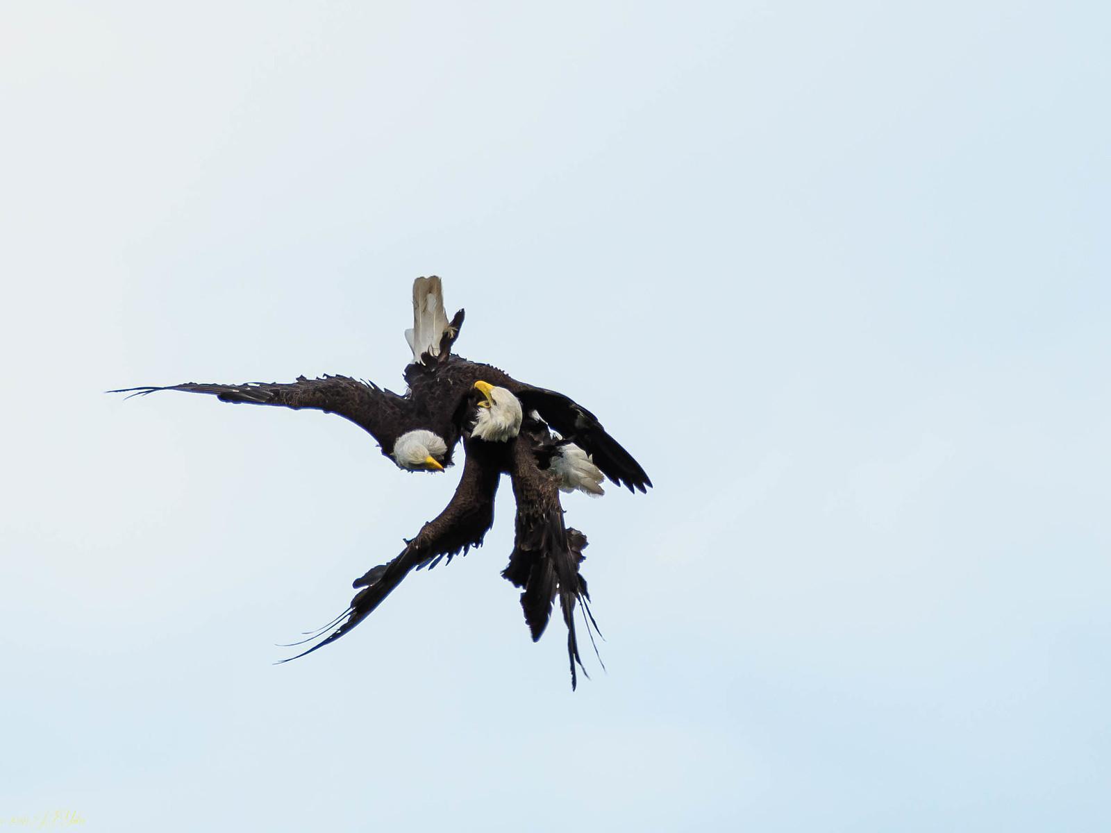 Bald Eagle Dance-5.jpg
