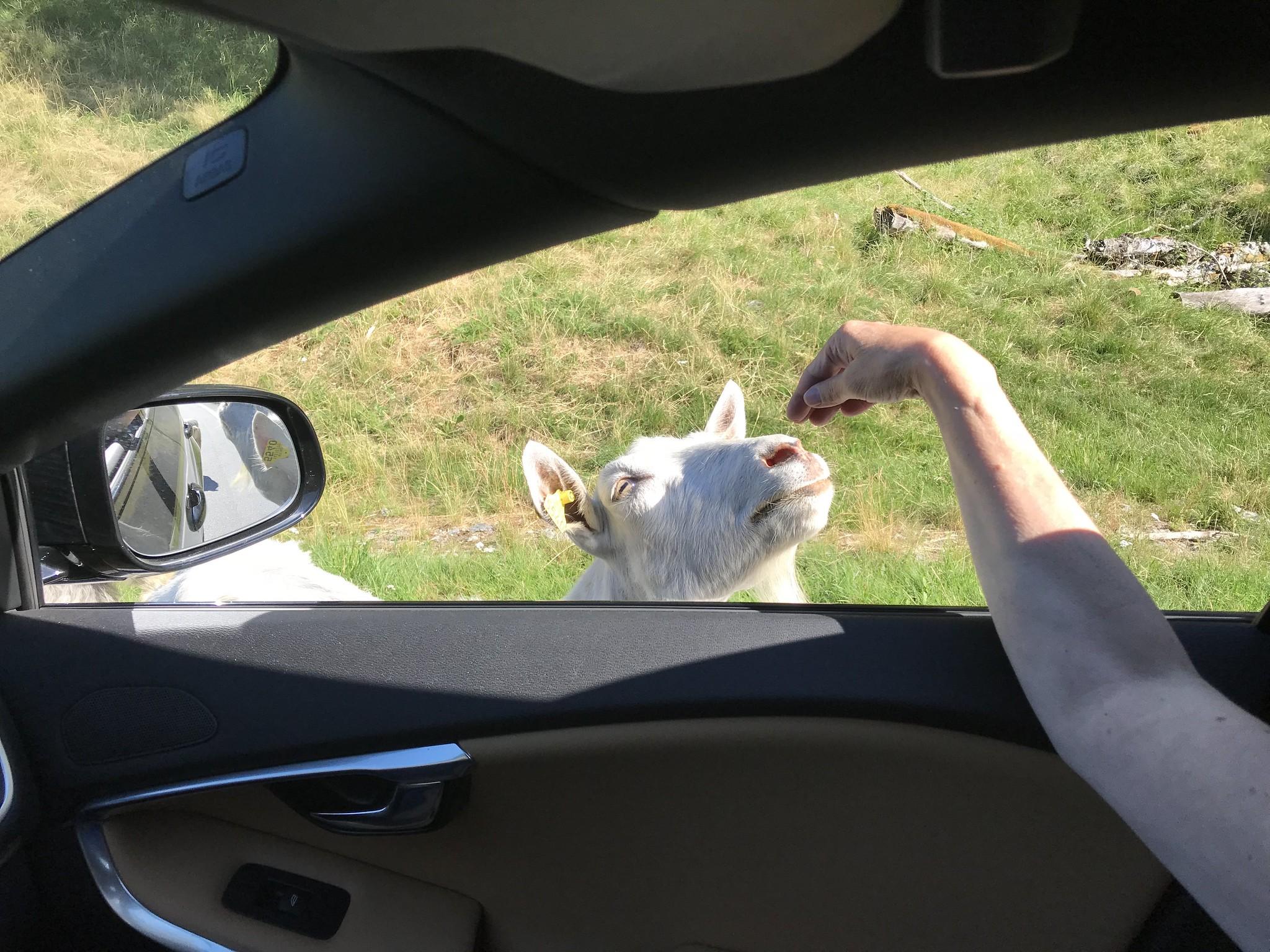 Goat Jam