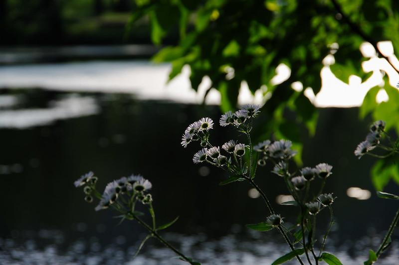 水辺に咲くヒメジオン_201806_NO2