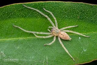 Sac spider (Cheiracanthium sp.) - DSC_5609