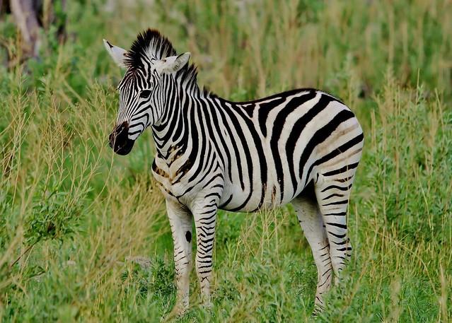 Young Burchell's Zebra (Equus quagga burchellii)