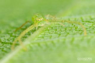 Green crab spider (Oxytate argenteooculata) - DSC_6039