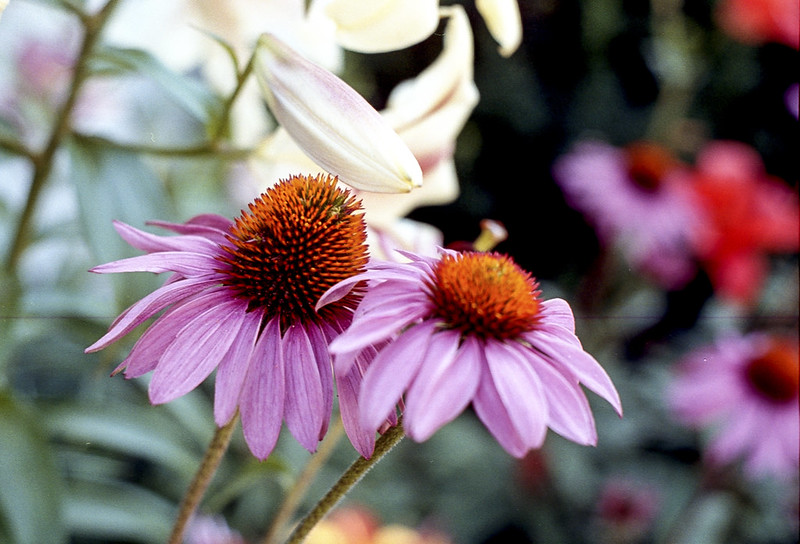 Purple Cone Flower_