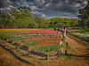 Photo:チューリップの花園で IV By jun560