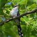 Yellow-Billed Cuckoo by nomoredarkroom