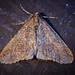 Mottled Umber - Erannis defoliaria