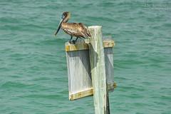 Juvenile Brown Pelican - Clearwater Beach, Florida