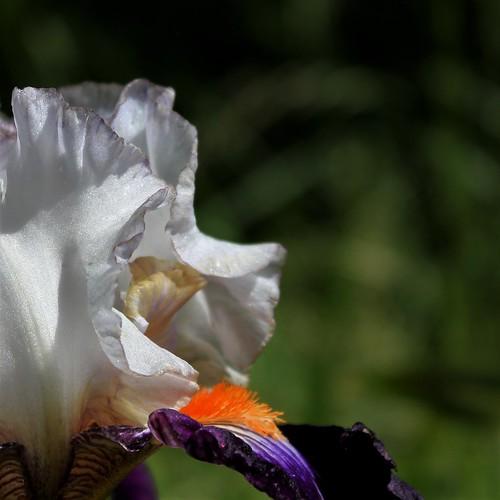 Iris 'Terre à Silex' - Cayeux 2015 42182296694_5b66855c30
