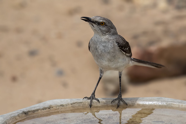 Mocking-Bird-2-7D2-060918