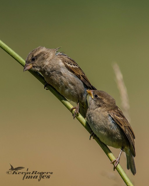 Juvenile Sparrows waiting for, Nikon D810, AF-S VR Nikkor 600mm f/4G ED