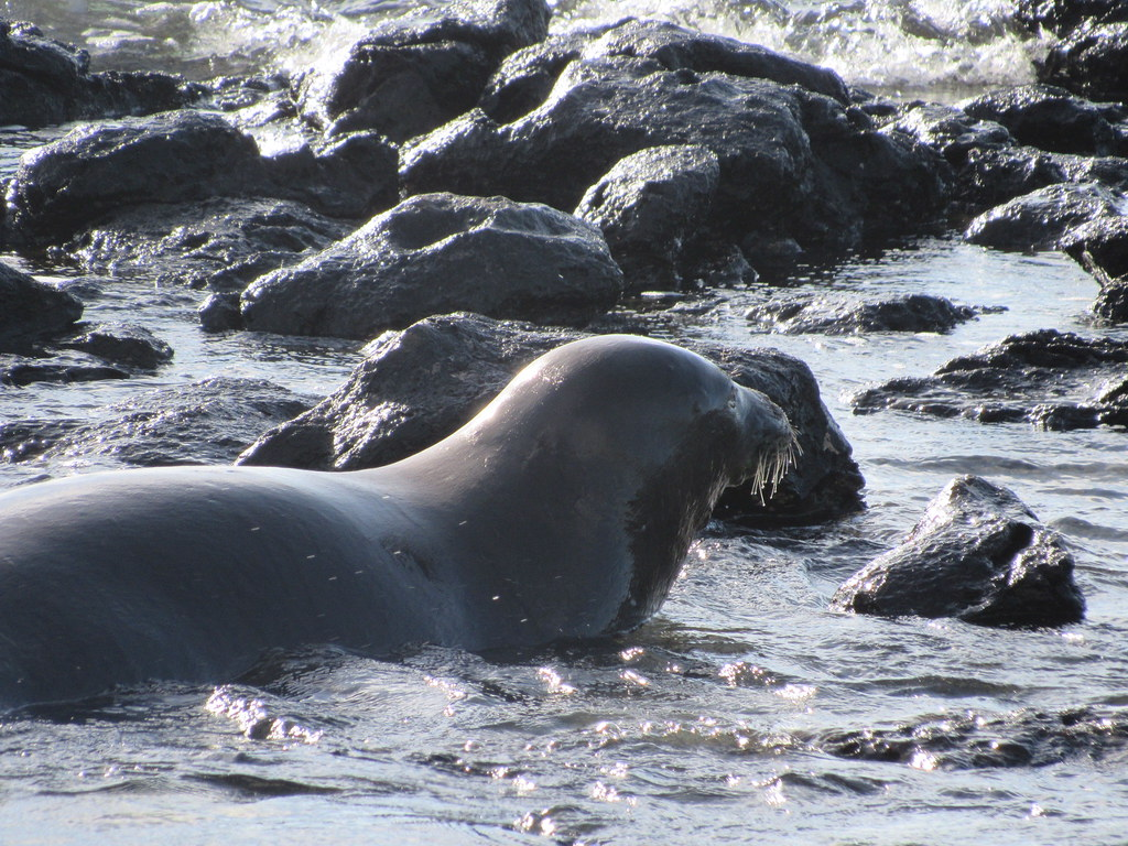 Hawaiian Monk Seal 7/14/18