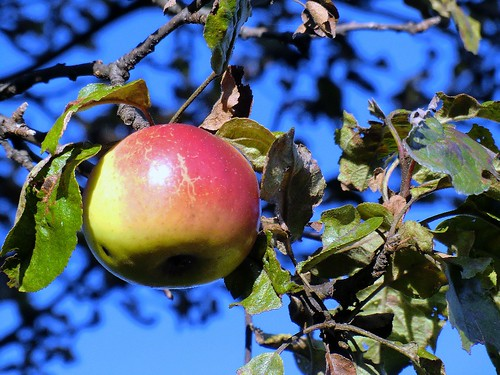 Steirische Äpfel von Grafendorf