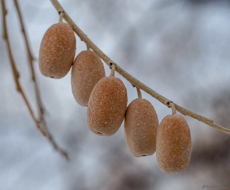 Russian olive in winter
